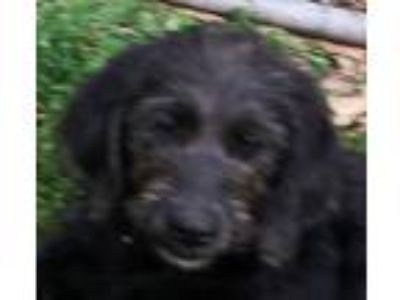 Adopt Doe a Black - with Tan, Yellow or Fawn Labradoodle / Mixed dog in
