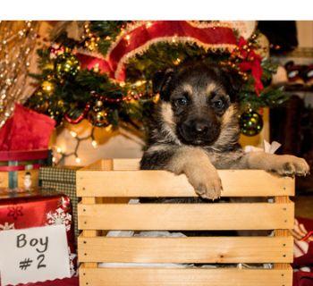 German Shepherd Dog PUPPY FOR SALE ADN-106989 - AKC German Shepherd Puppy