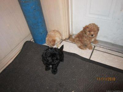 Shih Tzu/Poddle Puppies