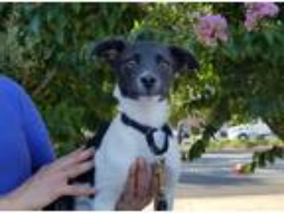 Adopt Riley a Black - with White Terrier (Unknown Type, Small) / Mixed dog in