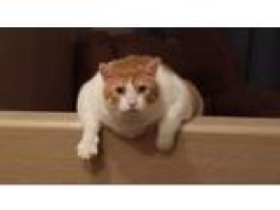 Adopt Little Kitty a Orange or Red Tabby Domestic Mediumhair / Mixed cat in El