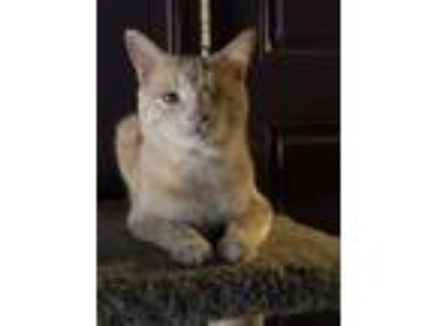 Adopt BUTTERS a Tan or Fawn Domestic Shorthair (short coat) cat in Chatsworth