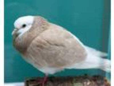 Adopt PARADISE a Pigeon