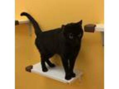 Adopt Poodle a All Black Domestic Shorthair / Mixed (short coat) cat in Hudson