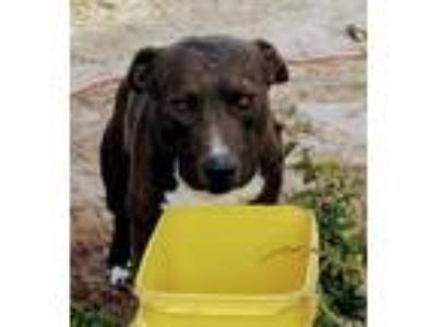 Adopt SOX a Brown/Chocolate - with White American Staffordshire Terrier / Mixed