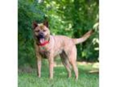Adopt PEYTON a Brindle Chow Chow / Labrador Retriever / Mixed dog in