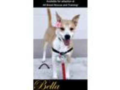Adopt Bella a Australian Cattle Dog dog in Colorado Springs, CO (17600505)