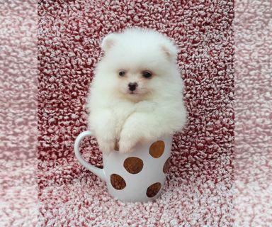 Teacup Pomeranian Puppies Clifieds