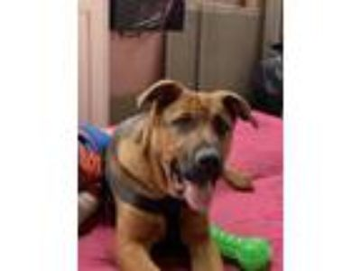 Adopt Rambo a Brown/Chocolate - with Black German Shepherd Dog / Doberman