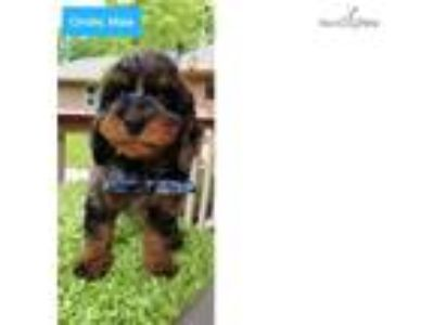 Cinder Beautiful Male F1b Bernedoodle Puppy!