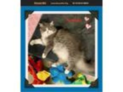Adopt Sophia a Gray or Blue (Mostly) Maine Coon (long coat) cat in Snow Camp