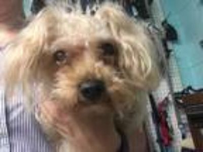 Adopt ROSIE a Brown/Chocolate Poodle (Miniature) / Mixed dog in Waterford