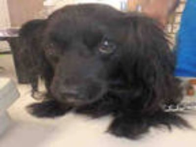 Adopt BLACKY a Black Mixed Breed (Medium) / Cocker Spaniel / Mixed dog in Los