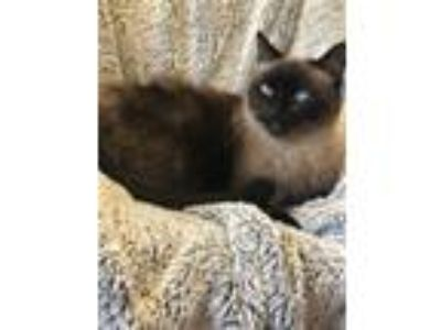 Adopt Phoebe K a Brown or Chocolate (Mostly) Siamese (short coat) cat in