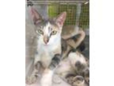 Adopt Bianca a Domestic Short Hair