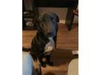 Adopt CANYON a Black - with White Border Collie / Mixed dog in Conroe