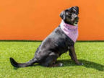 Adopt LOLA a Black - with White Flat-Coated Retriever / Mixed dog in Doral