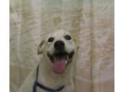 Adopt Winston a White German Shepherd Dog / Mixed dog in SMITHFIELD