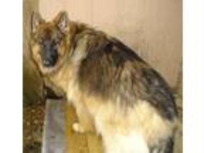 Adopt Many GSD's available a German Shepherd Dog