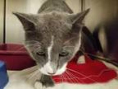 Adopt MIKE a Gray or Blue (Mostly) Domestic Shorthair / Mixed (short coat) cat