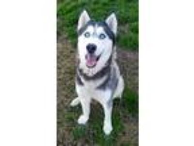 Adopt a Black - with White Husky / Mixed dog in Modesto, CA (24001238)