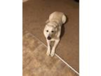 Adopt King a White German Shepherd Dog / German Shepherd Dog dog in Thornton