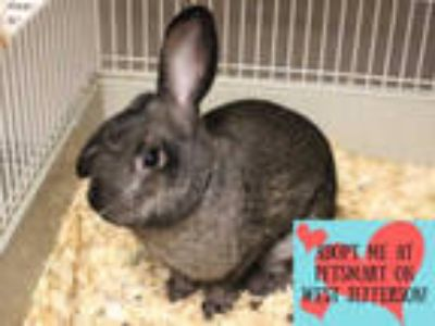 Adopt MR. BROWN a Black Lop, English / Mixed rabbit in Fort Wayne, IN (25897678)
