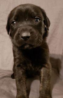 Cane Corso-Mastiff Mix PUPPY FOR SALE ADN-102312 - Mastiff Puppies For Sale
