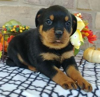 wholesome Rottweiler Puppies
