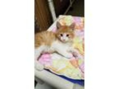Adopt Kitten 18651 a Maine Coon cat in Parlier, CA (25939671)