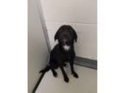 "Adopt PR 56 ""Lila"" a Border Collie, Black Labrador Retriever"