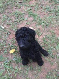 Poodle (Standard) PUPPY FOR SALE ADN-93255 - Black Standard Poodles