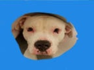 Adopt LUNA a White - with Black American Pit Bull Terrier / Mixed dog in