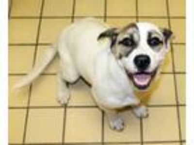 Adopt Ally a Basset Hound, Jack Russell Terrier