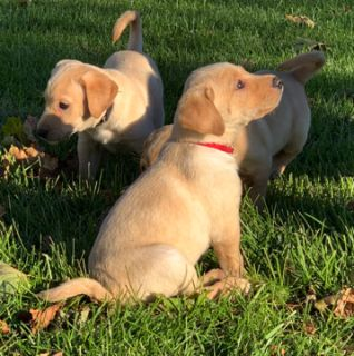 Labrador Retriever PUPPY FOR SALE ADN-101245 - AKC Yellow Lab Puppies Available NOW