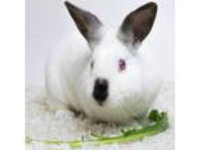 Adopt Butters a White Californian / Mixed rabbit in Dayton, OH (25214370)