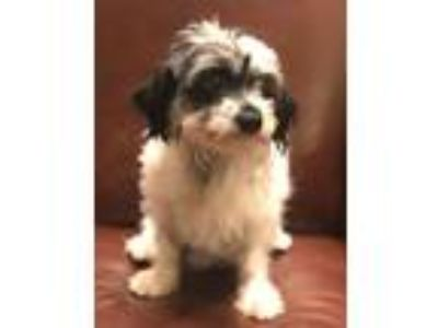Adopt Louis Vuitton a Black - with White Havanese / Mixed dog in Vista