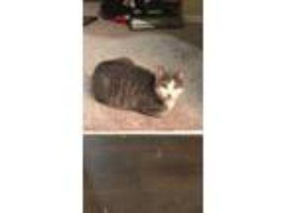 Adopt Boca a Gray or Blue Domestic Shorthair / Mixed cat in Saint Petersburg