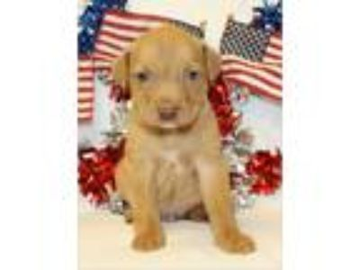 Adopt Sundance a Tan/Yellow/Fawn Labrador Retriever / Mixed dog in Lumberton