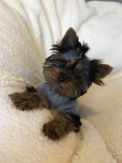 Yorkshire Terrier PUPPY FOR SALE ADN-102782 - Very Sweet Female Yorkie