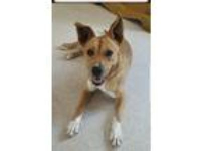 Adopt Mindy a Tan/Yellow/Fawn - with White Feist / Mixed dog in West Grove