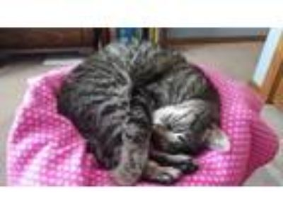 Adopt Miss Kitty a Tabby, Domestic Short Hair