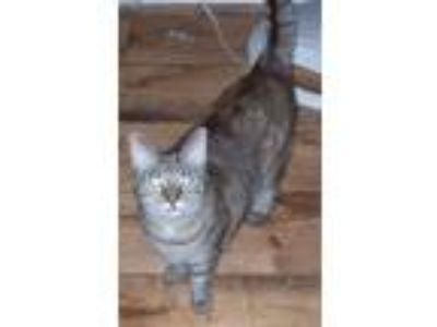 Adopt Cherry and Sarah a Brown Tabby Domestic Shorthair / Mixed (short coat) cat