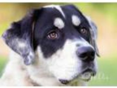 Adopt Apollo a Great Pyrenees, Labrador Retriever