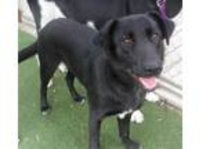 Adopt a Black - with White German Shepherd Dog / Mixed dog in San Luis Obispo