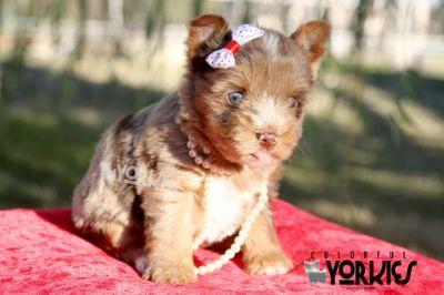 Yorkshire Terrier PUPPY FOR SALE ADN-105105 - Blue eye Sasha