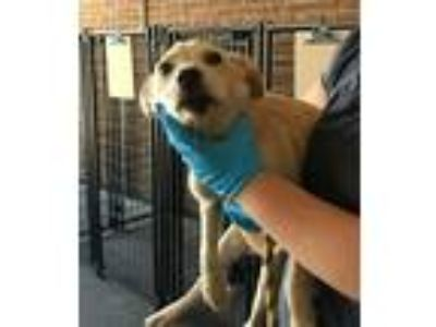 Adopt Pat a Labrador Retriever / Mixed dog in Birmingham, AL (25650195)