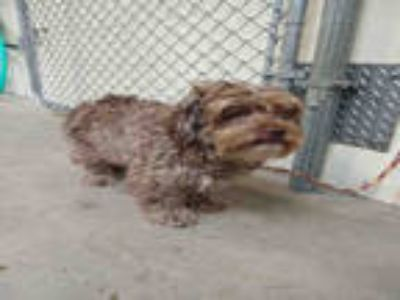 Adopt LEROY a Brown/Chocolate Poodle (Miniature) / Mixed dog in Olivette