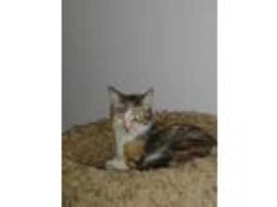 Adopt Urgent- Autumn a Calico or Dilute Calico American Shorthair (short coat)