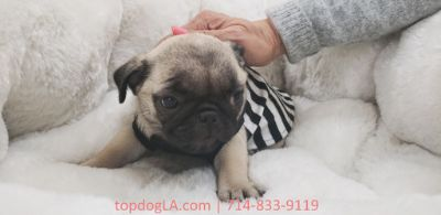 Pug PUPPY FOR SALE ADN-75764 - Pug Male Piggy